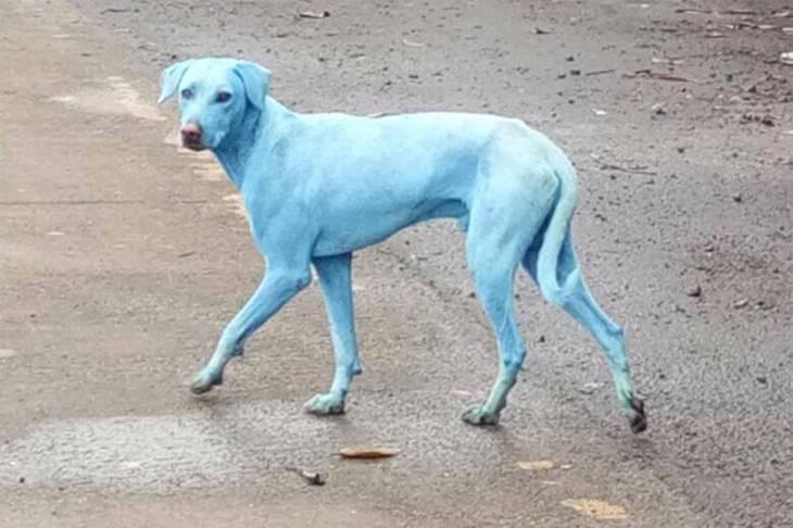 mundo-cachorro-azul-india-2