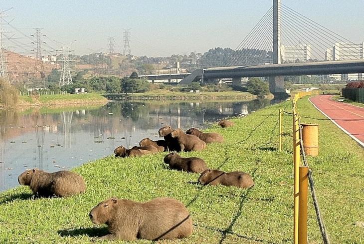 Capivaras no Rio Pinheiros
