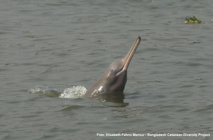 Golfinho-do-rio-Ganges