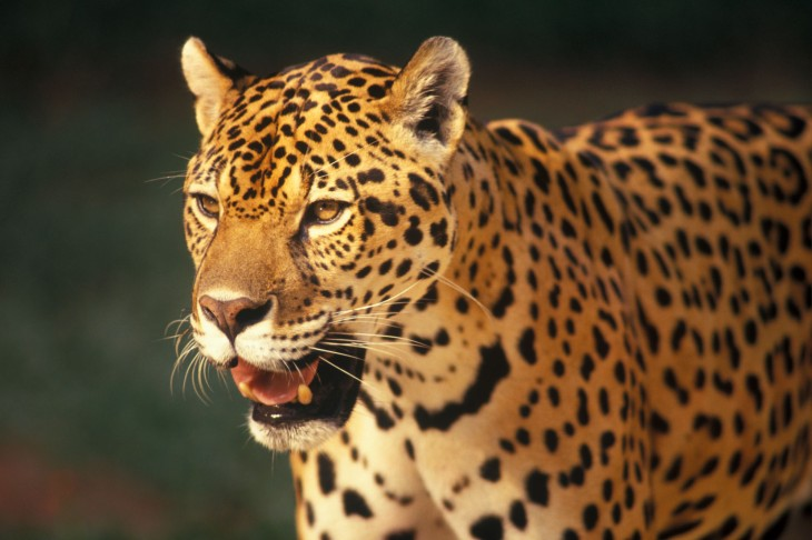 ONÇA-PINTADA Panthera onca