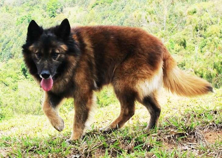 Cão-pastor-da-Mantiqueira