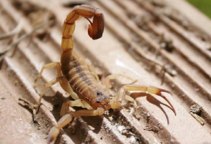 escorpião no entulho