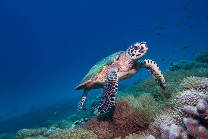 Underwater rare encounter with Critically Endangered Hawksbill Sea Turtle (Eretmochelys imbricata)