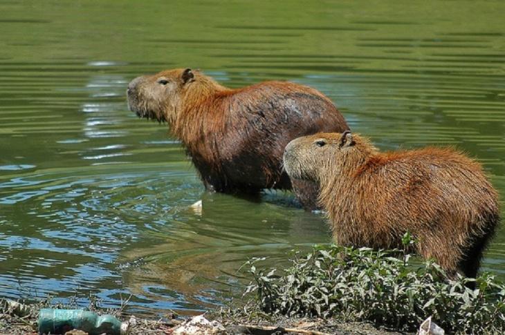 Capivaras do rio Capibaribe