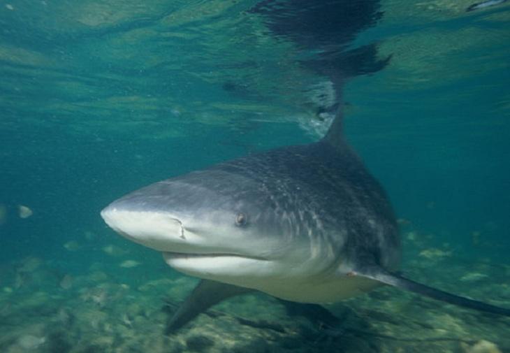 Tubarão cabeça-chata