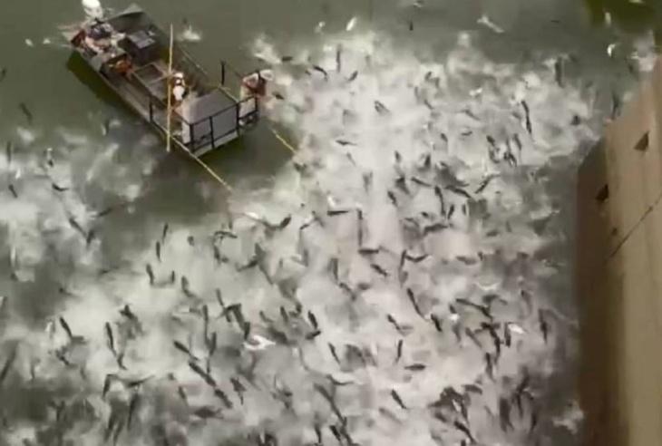 Carpas asiáticas no rio Mississipi