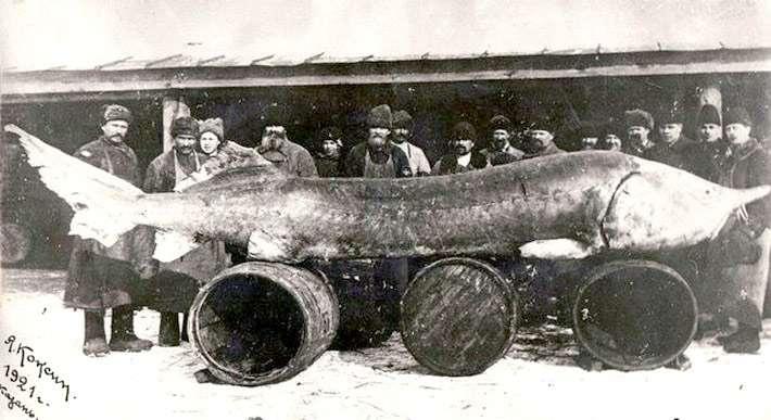 Esturjão-beluga