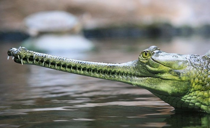 Gavial do rio Ganges