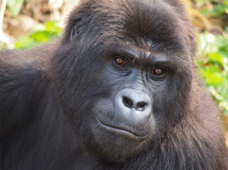 Gorila de Grauer 2