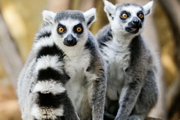 Lêmures de Madagascar