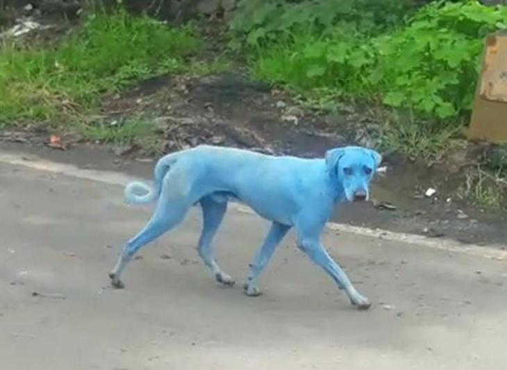 Cachorro azul da Índia