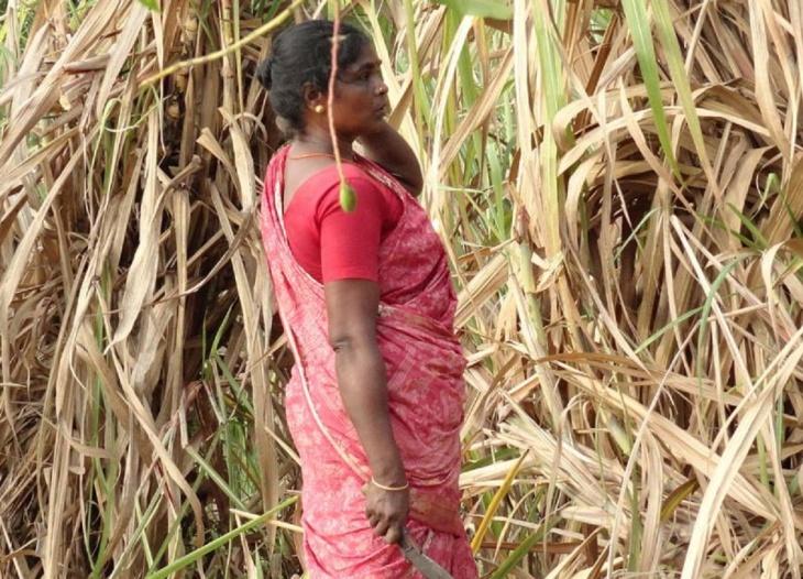 Mulher indiana cortando cana