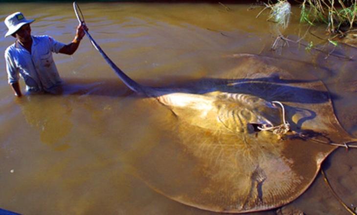 Arraia-gigante do Mekong