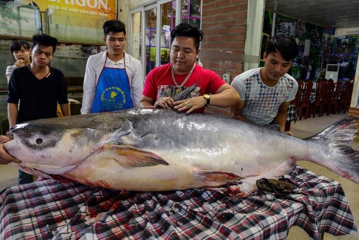Bagre-gigante do rio Mekong