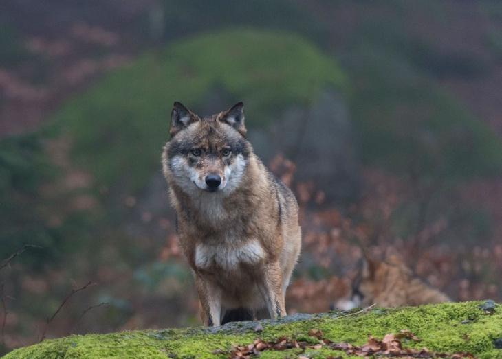 Lobos de Chernobyl