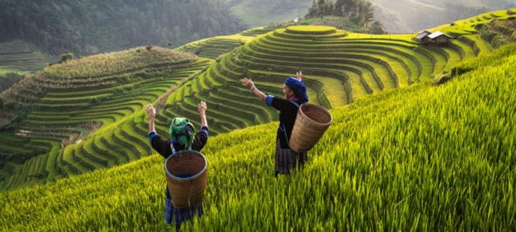 Plantação de arroz em terraços no Vietnã
