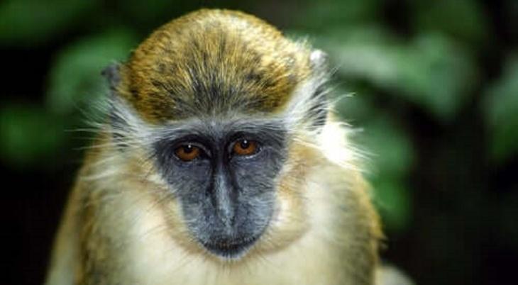 Macaco-verde de Barbados
